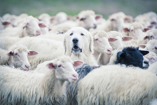 A dog searching for his crowd among sheep, wondering where's my audience?